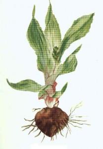 Ilabatheka - Liliacea lancifolium Spp, Wild for curing Vomiting