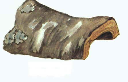 Umkhondweni - Cryptocarya latifolia sond for curing Muscular Cramps